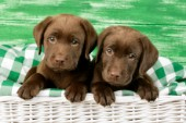 Two chocolate Labrador puppies (DP616)