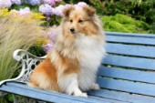 Collie on bench (DP620)