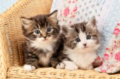 Kittens on chair (CK437)