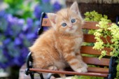 Ginger kitten (CK421)