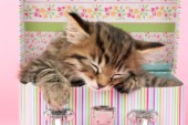 Asleep in make up box (CK427)