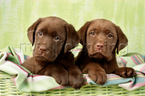 Two chocolate Labrador puppies DP658