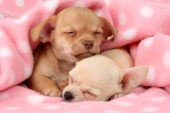 Sleeping Chihuahuas (DP676)