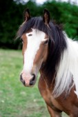 White and tan horse portrait (H135)