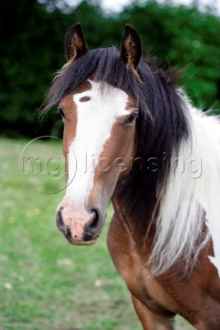 White and tan horse portrait H135