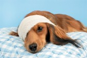 Puppy with bandage (DP701)