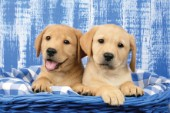 Labrador puppies in blue basket (DP711)