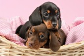 Puppies cuddling in basket (DP717)