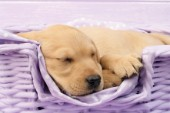 Labrador puppy asleep in lilac basket  (DP723)