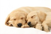 Labrador pups asleep on white (DP735)