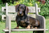 Dachsund on Garden Bench (DP753)