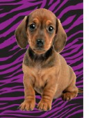 Dachshund with tiger print