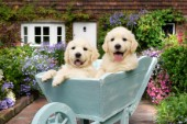Puppies in a Wheelbarrow DP791
