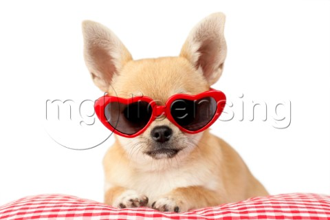 Chihuahua in Heart Sunglasses DP813