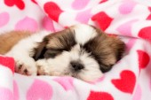 Shih-Tzu Asleep