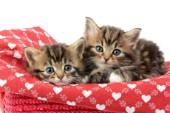 Kittens on Heart Blanket