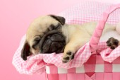 Sleeping Pug in Pink Basket DP923