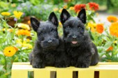 2 Black Scotties DP935