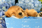 Brown Puppy Asleep in Blue Box DP945