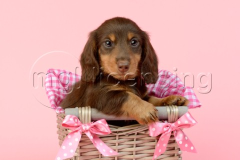 Dog in Pink Basket DP964