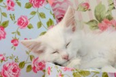 Sleeping White Kitten
