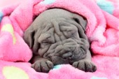 Sleeping Shar Pei Puppy
