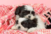 Two Sleeping Shih Tzu Puppies