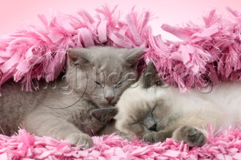 Two British Shorthair Cats Sleeping Variant 1CK703