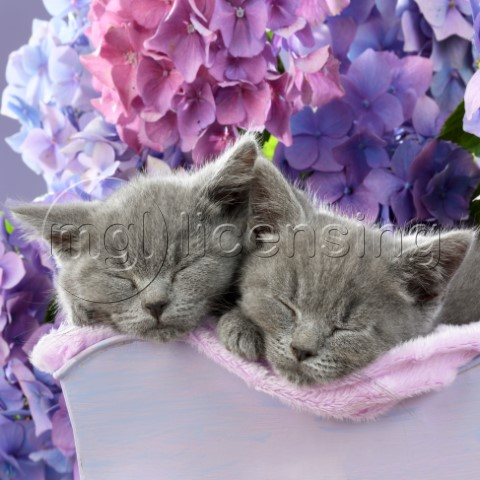 Two Sleeping Blue Kittens CK683SQ