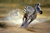 Lion stalking zebra