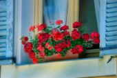 Red Geraniums in Window F672