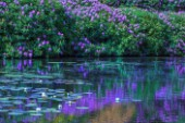 Rhododendron Reflections in a Lilly Pond; Kent; England; 2015
