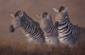 Protecting the foal zebra (NPI 975)