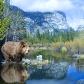 Mirror Lake Bear