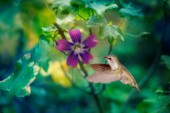 Purple Hummingbird Dewdrop
