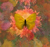 Butterfly Yellow Dahlia_SQ