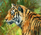 Amur Tiger Side Portrait