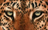 Leopard Eyes Painting