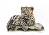 Leopard cub drawn in polychromos colour pencils