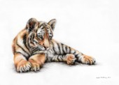 Tiger cub drawn in polychromos colour pencils