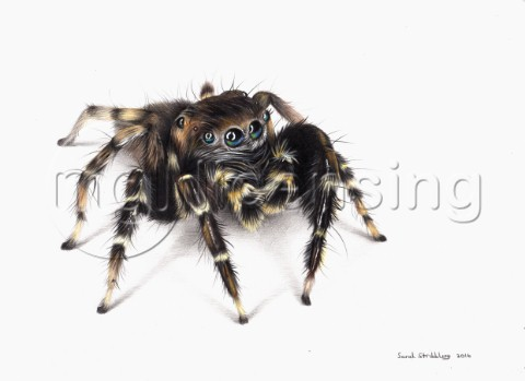 Jumping spider drawn in colour pencils