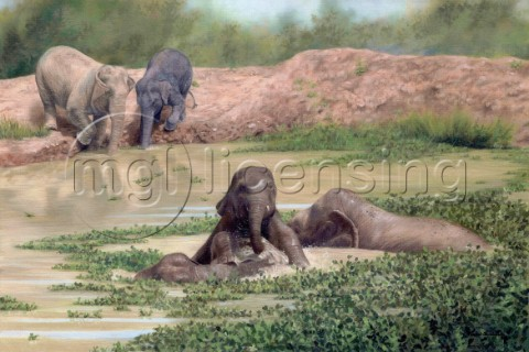A family of asian elephants playing in water