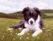 Border Collie puppy laying in a field surrounded by wild flowers, with a scenic background of trees and fields.