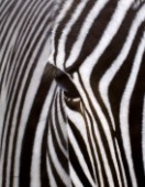 Close up portrait of a zebras face