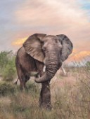 Wild African elephant walking in the warm evening sun.
