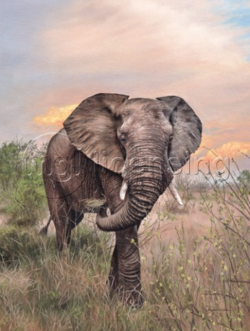 Wild African elephant walking in the warm evening sun