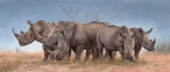 White Rhinos Panoramic