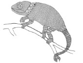 Neeti-Animal-Chameleon