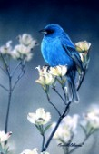 indigo bunting and dogwood cps231