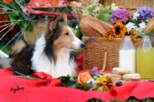 1775-Red Bicycle-Picnic with Sheltie Dog